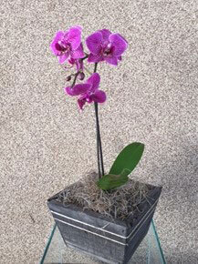 MINI ORQUÍDEA